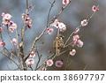 flower, ume, sparrow 38697797