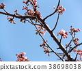 kawazu cherry blossoms, kawaji sakura, flower 38698038