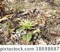 early spring delicacy, fuki-no-tou, fuki stalk 38698687