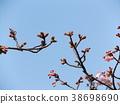 kawazu cherry blossoms, kawaji sakura, flower 38698690