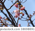 kawazu cherry blossoms, kawaji sakura, flower 38698691
