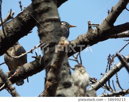 카와즈자쿠라, 카와즈 벚나무, 키와즈 벚꽃 38699215