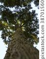 ต้นสนญี่ปุ่น,ต้นไม้,ทัศนียภาพ 38701560