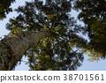 ต้นสนญี่ปุ่น,ต้นไม้,ทัศนียภาพ 38701561