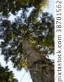 ต้นสนญี่ปุ่น,ต้นไม้,ทัศนียภาพ 38701562