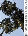 ต้นสนญี่ปุ่น,ต้นไม้,ทัศนียภาพ 38701563