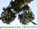 ต้นสนญี่ปุ่น,ต้นไม้,ทัศนียภาพ 38701564