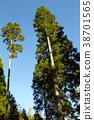 ต้นสนญี่ปุ่น,ต้นไม้,ทัศนียภาพ 38701565