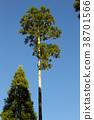 ต้นสนญี่ปุ่น,ต้นไม้,ทัศนียภาพ 38701566
