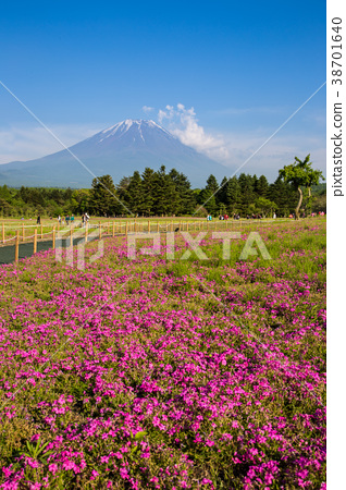 Shibazakura flower field and Mount fuji 38701640