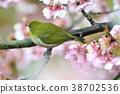 동박새와 카와 벚꽃 봄 낭만 38702536
