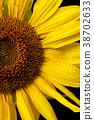 Half shot of sunflower. 38702633
