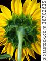 Green back of sunflower. 38702635