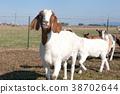 Goat grinning. 38702644