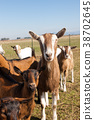 Goats in the pasture. 38702645