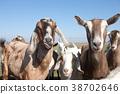 Goats hamming it up. 38702646