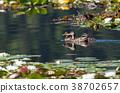 Ducks swimming in lake. 38702657