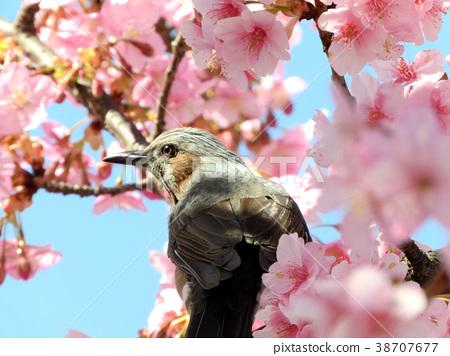 一隻停在櫻花樹上的鳥 38707677