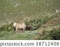 elk, deer, deers 38712406