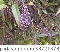 hardenbergia, flower, flowers 38721378