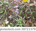 hardenbergia, flower, flowers 38721379