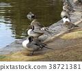 northern pintail, brown, browns 38721381