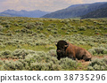 Bison sit in meadow at Yellowstone, Wyoming 38735296