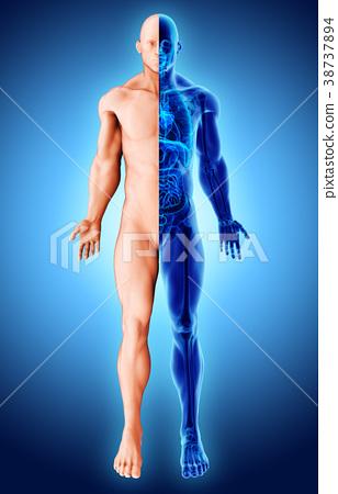 3d illustration two tone skeleton, medical. 38737894