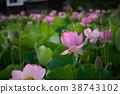 蓮花 蓮 花朵 38743102
