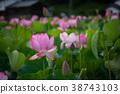 蓮花 蓮 花朵 38743103