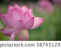 蓮花 蓮 花朵 38743129