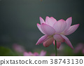 蓮花 蓮 花朵 38743130