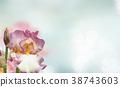 Booming irises flowers 38743603