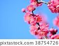 매화의 꽃과 푸른 하늘 (N) 38754726