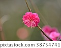 梅 日本梅子 花朵 38754741