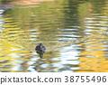 鳥兒 鳥 赤頸鴨 38755496