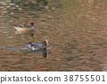 鳥兒 鳥 赤頸鴨 38755501