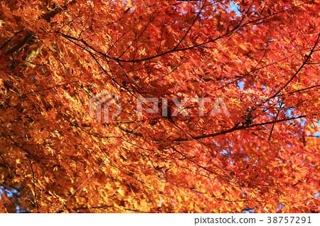 color ful fall season at Manshu in Monzeki  kyoto 38757291