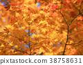 楓樹 紅楓 楓葉 38758631