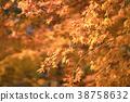 楓樹 紅楓 楓葉 38758632
