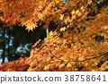 楓樹 紅楓 楓葉 38758641