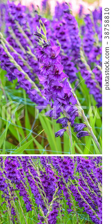 Abstract background of violet flowers 38758810