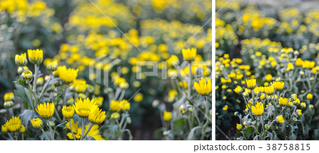 Abstract background of yellow flowers 38758815