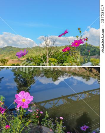 Pink flowers cosmos bloom beautifully 38758817