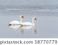 Couple of colorful swans 38770779