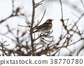 Fieldfare bird portrait 38770780