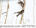 Male Reed Bunting in winter coloration 38770781