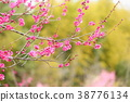 매화의 꽃 38776134