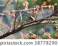 사쿠라 나무에 곤줄박이 38778290