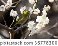 Mejiro in the white plum of Bairubayasaka 38778300